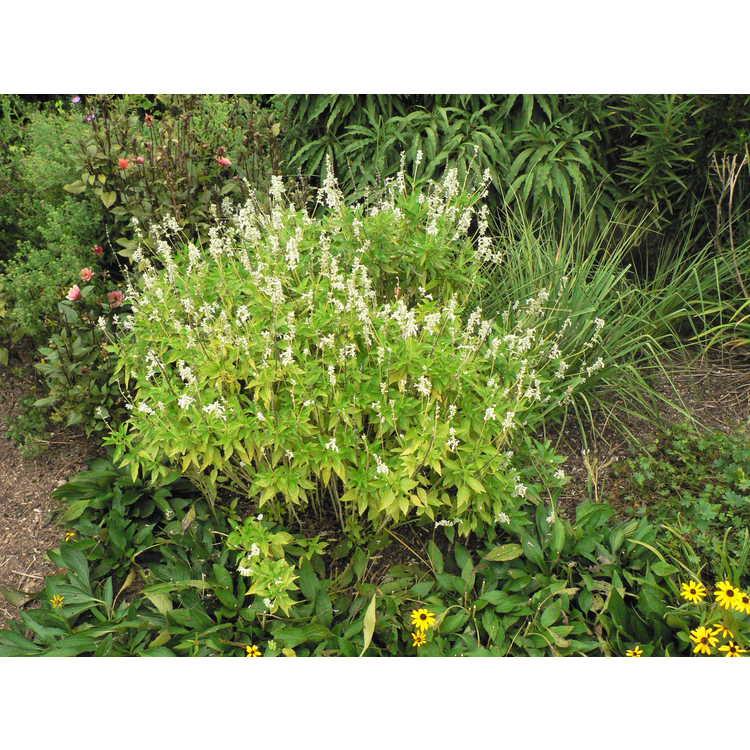 Salvia farinacea 'Augusta Duelberg' - mealycup sage