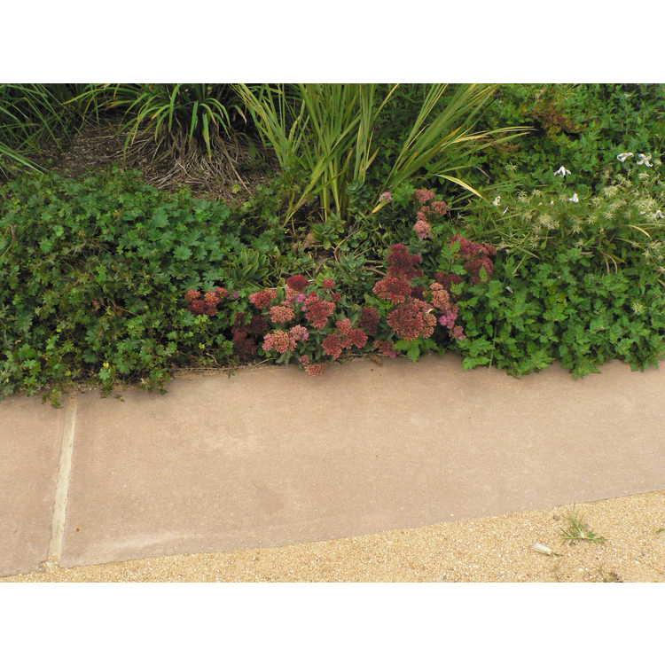 Sedum 'Carl' - hybrid stonecrop