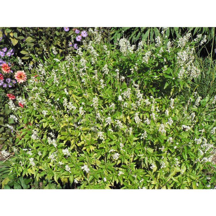Salvia farinacea 'Augusta Duelberg'