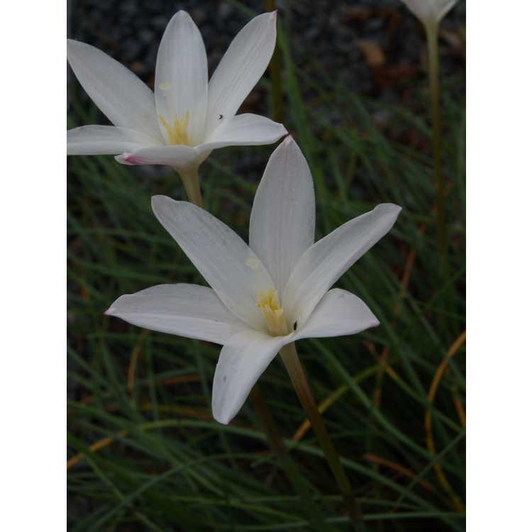 Zephyranthes traubii 'San Carlos Form' - rain-lily