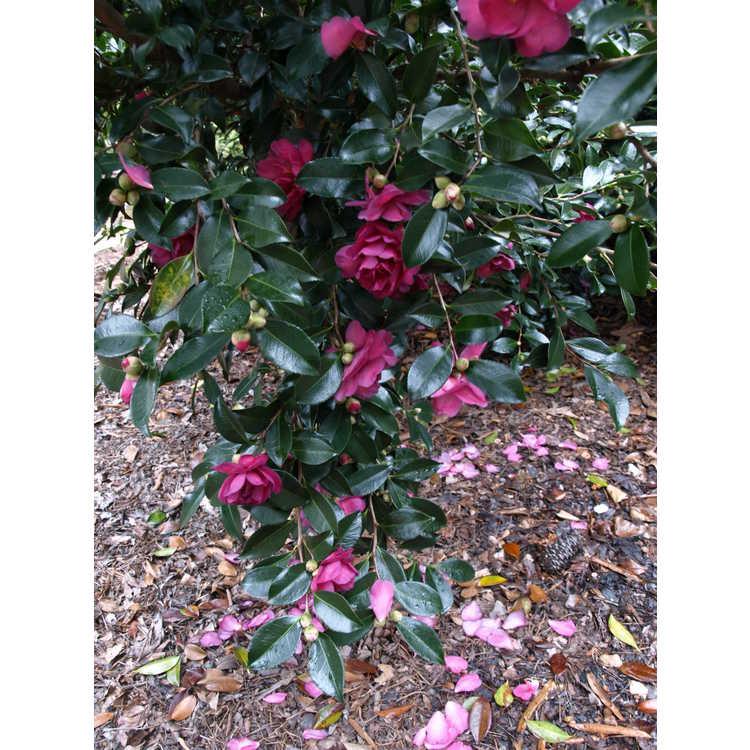 Camellia sasanqua Sarrel