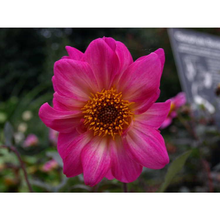 Dahlia (ex. 'Roxy') - garden dahlia