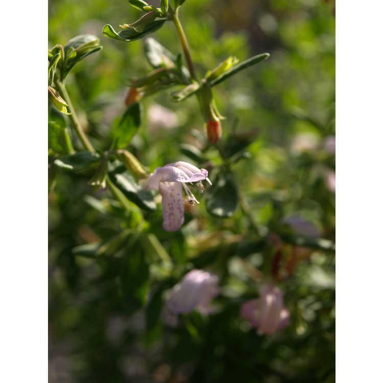 Conradina etonia - Eton rosemary