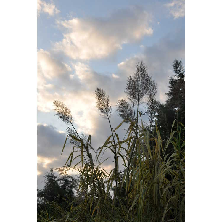 Arundo donax 'Golden Chain' - golden giant reed
