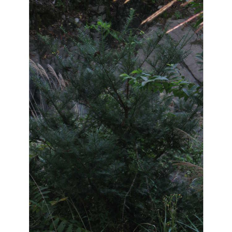 Cephalotaxus wilsoniana
