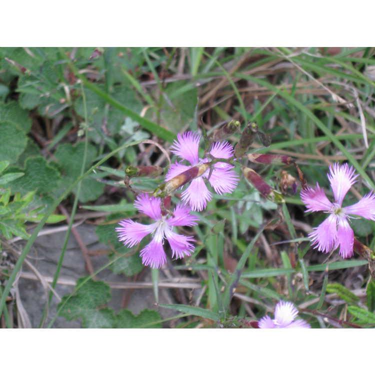 Dianthus pygmaeus