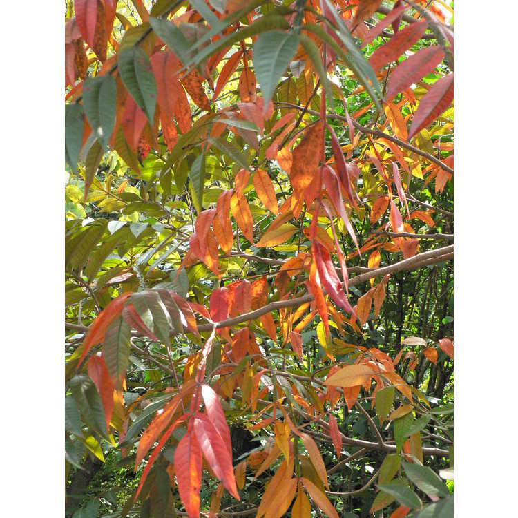 Rhus copallina var. latifolia 'Lanham Purple'
