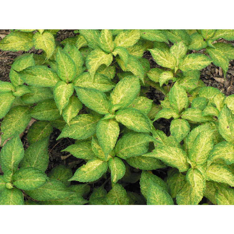 Hydrangea serrata [Amacha Group] 'Ô Amacha Nishiki'