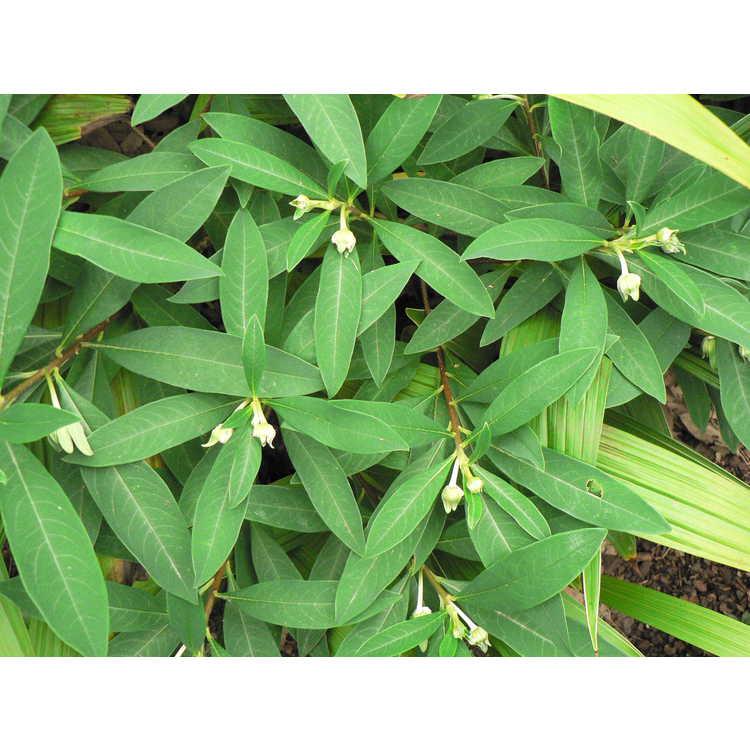 Edgeworthia chrysantha (compact form) - golden paperbush