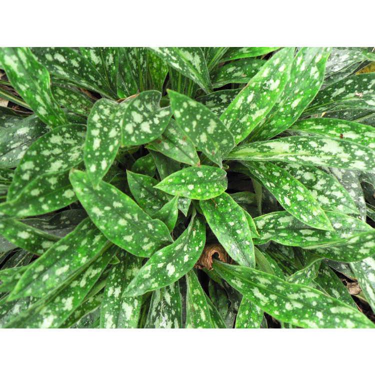 Pulmonaria longifolia 'Bertram Anderson'