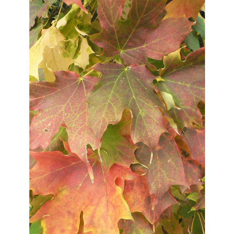 Acer saccharum 'Barrett Cole'