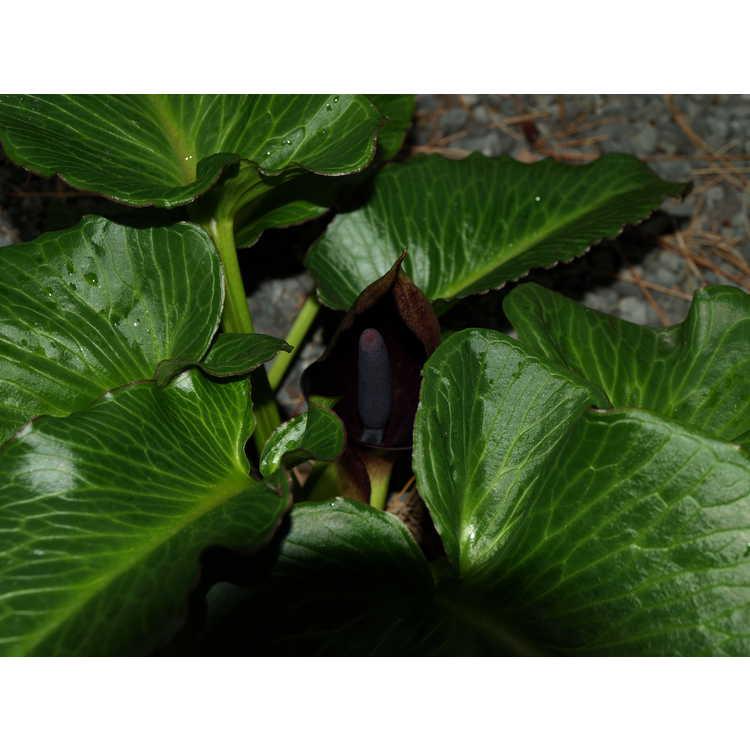 Arum pictum - autumn flowering arum