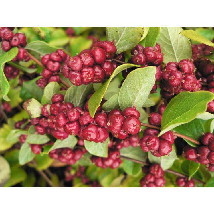 Symphoricarpos orbiculatus 'Central Avenue' - coralberry