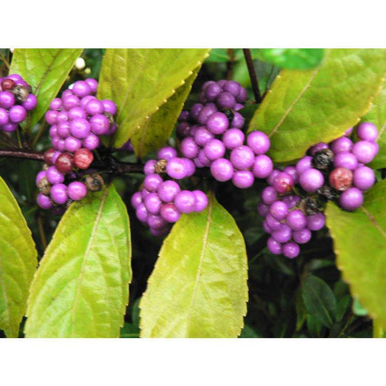 Callicarpa dichotoma 'Issai' - purple beautyberry