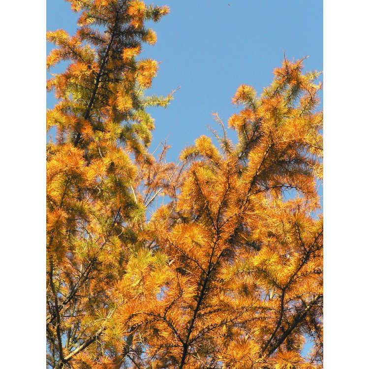 Pseudolarix amabilis - golden larch