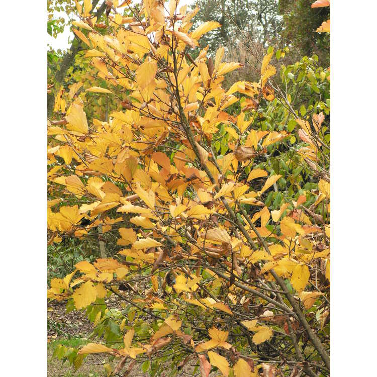 Hamamelis vernalis f. carnea - red Ozark witchhazel