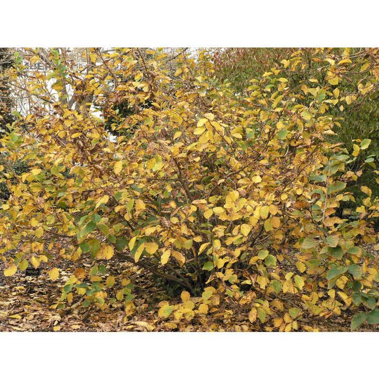 Hamamelis vernalis - Ozark witchhazel