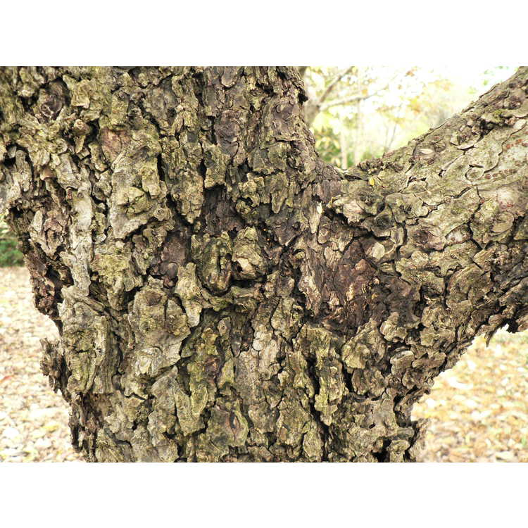 Ulmus parvifolia 'Seiju' - dwarf Chinese elm