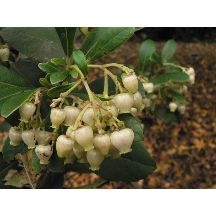 Arbutus unedo 'Compacta' - compact strawberry tree