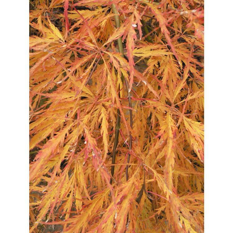 Acer palmatum 'Pendulum Julian'