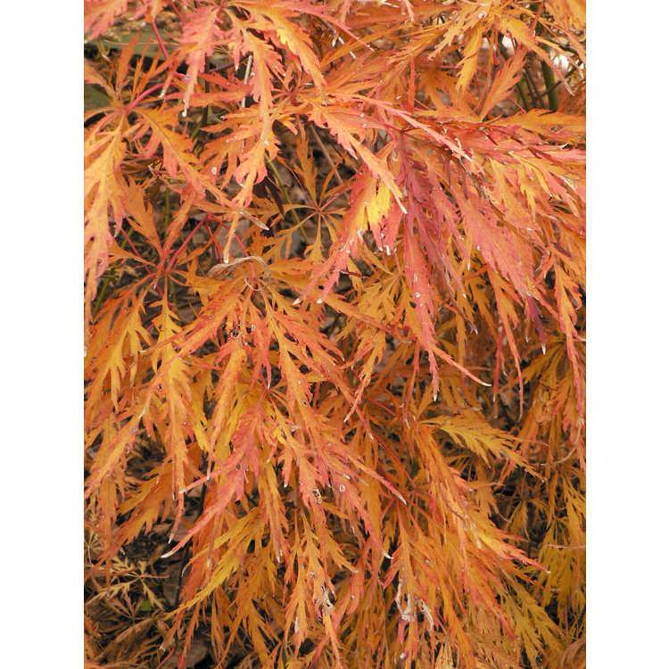Acer palmatum 'Pendulum Julian' - red lace-leaf Japanese maple