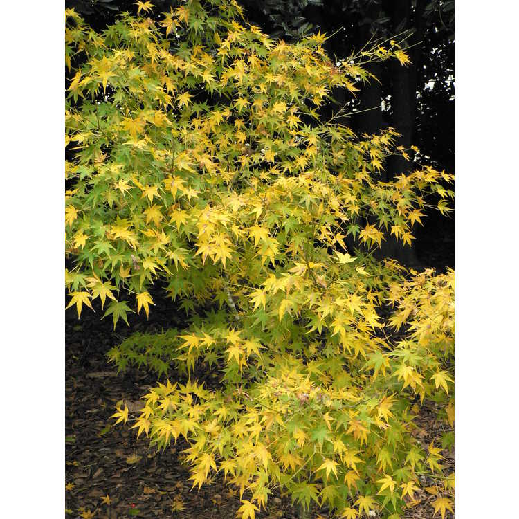 Acer palmatum 'Golden Flame'