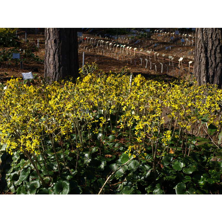 Farfugium japonicum 'Aureomaculatum' - leopard plant
