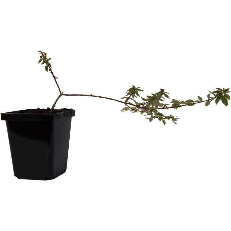 Abelia ×grandiflora 'Margarita'
