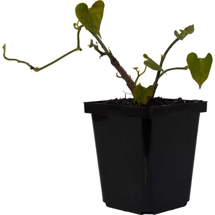 Aristolochia zollingeriana