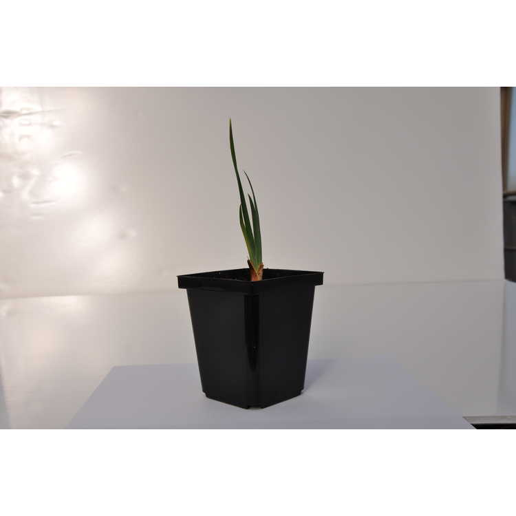 Iris spuria subsp. halophila - Romanian iris