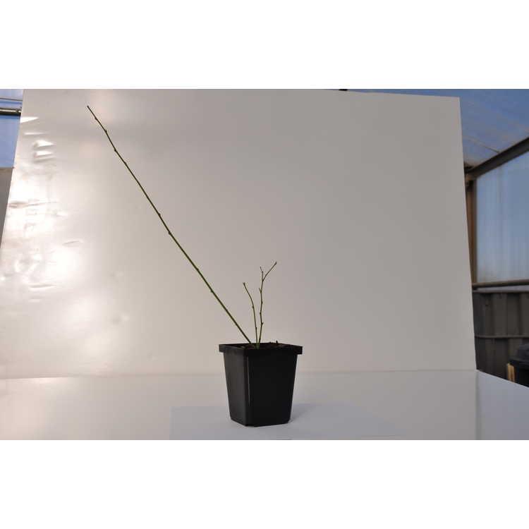 Kerria japonica 'Fubuki Nishiki' - variegated Japanese kerria