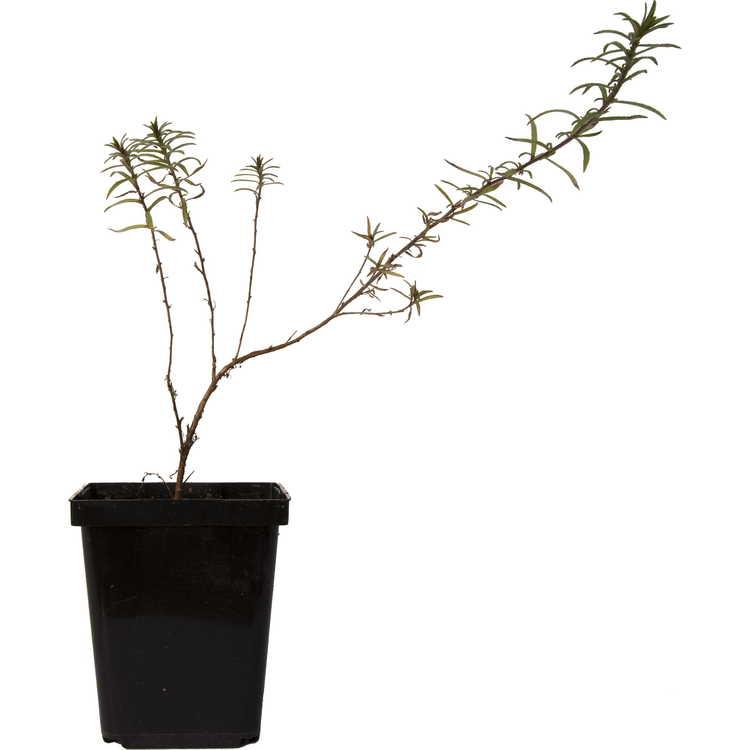 Zauschneria latifolia var. etteri