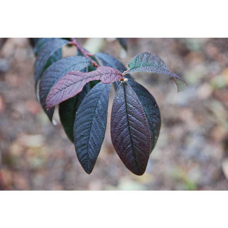 Cotoneaster-salicifolia-Avonbank-002-JCRA-12-18-09.JPG