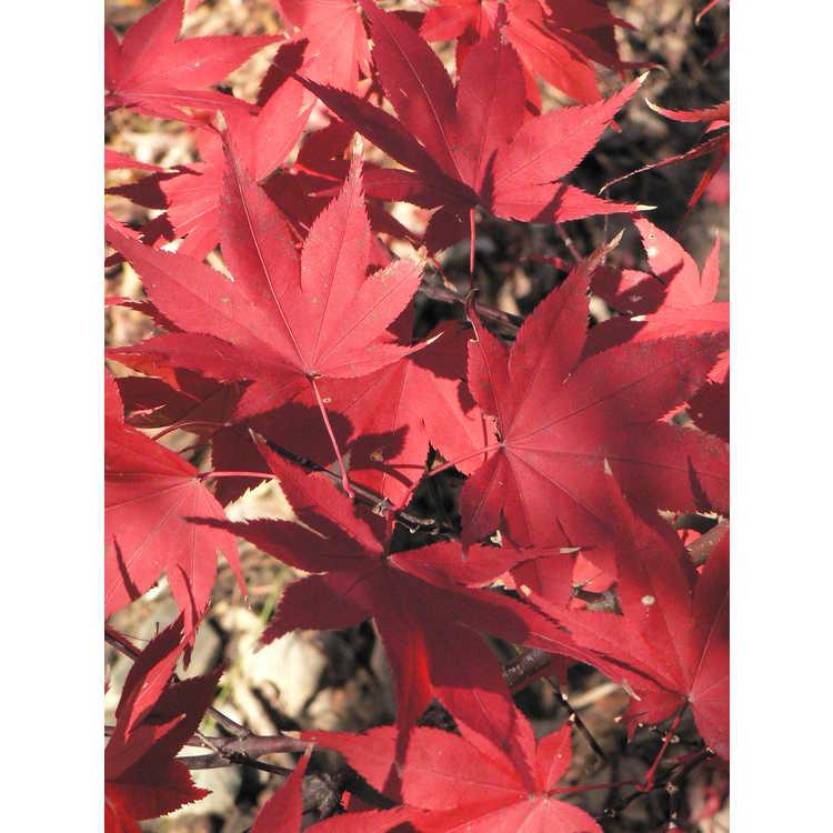 Acer palmatum 'Ô kagami'
