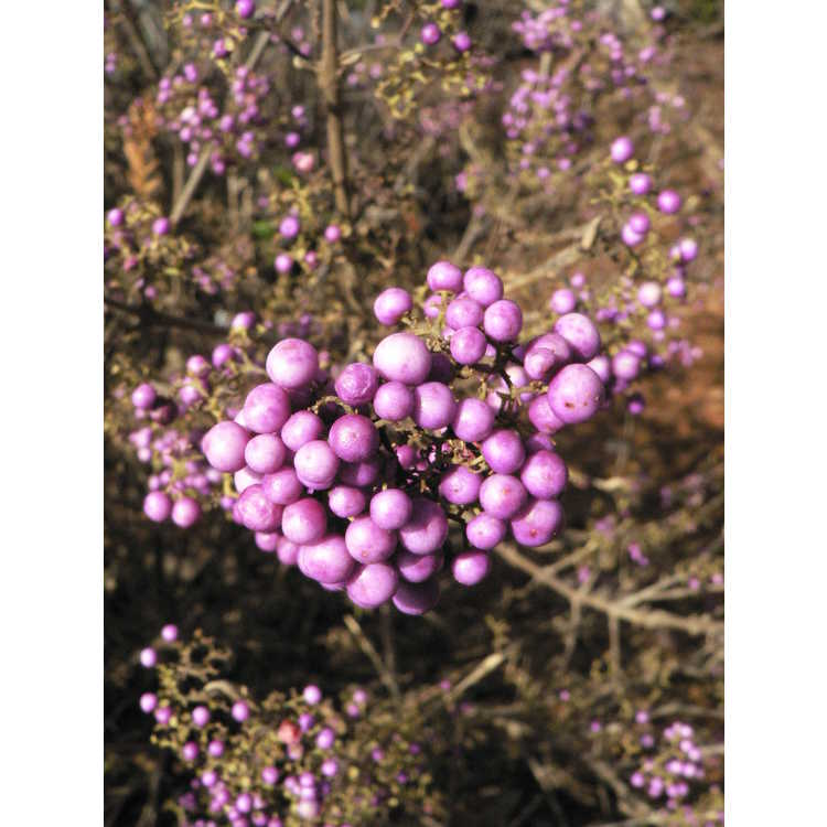 Callicarpa japonica 'Heavy Berry' - Japanese beautyberry