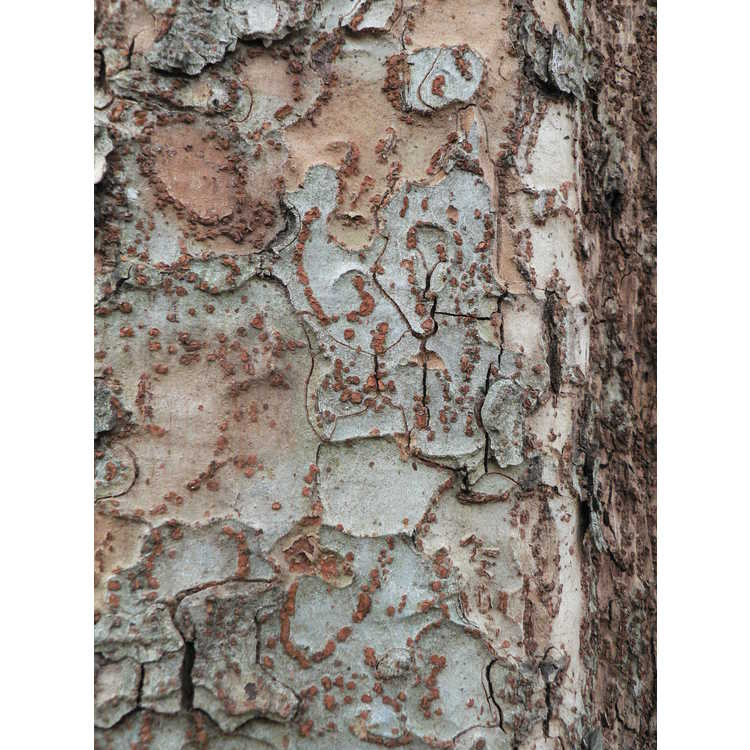 Ulmus parvifolia 'Frosty' - variegated Chinese elm