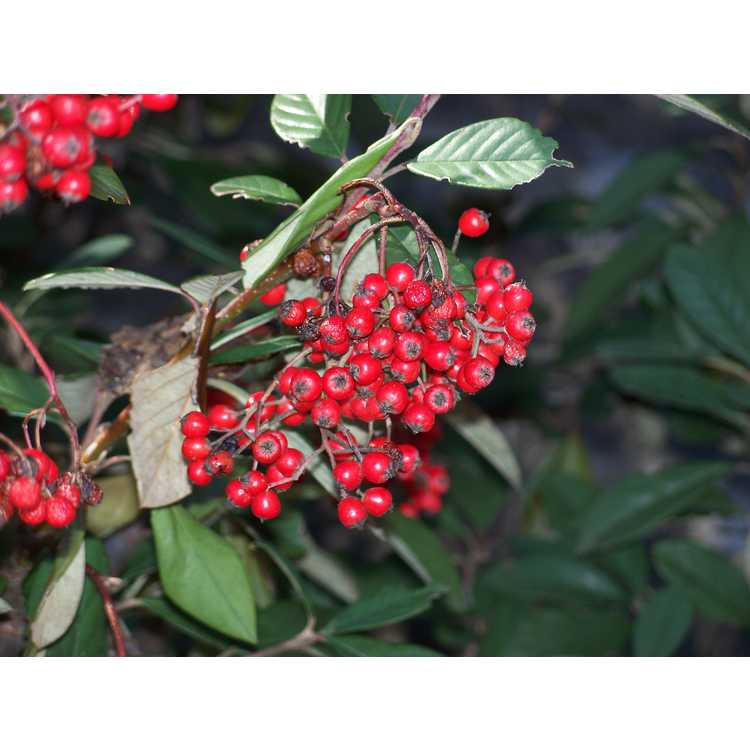 Cotoneaster pannosus - Chinese cotoneaster