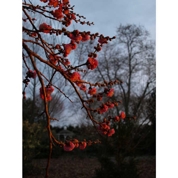 Prunus mume Bonita