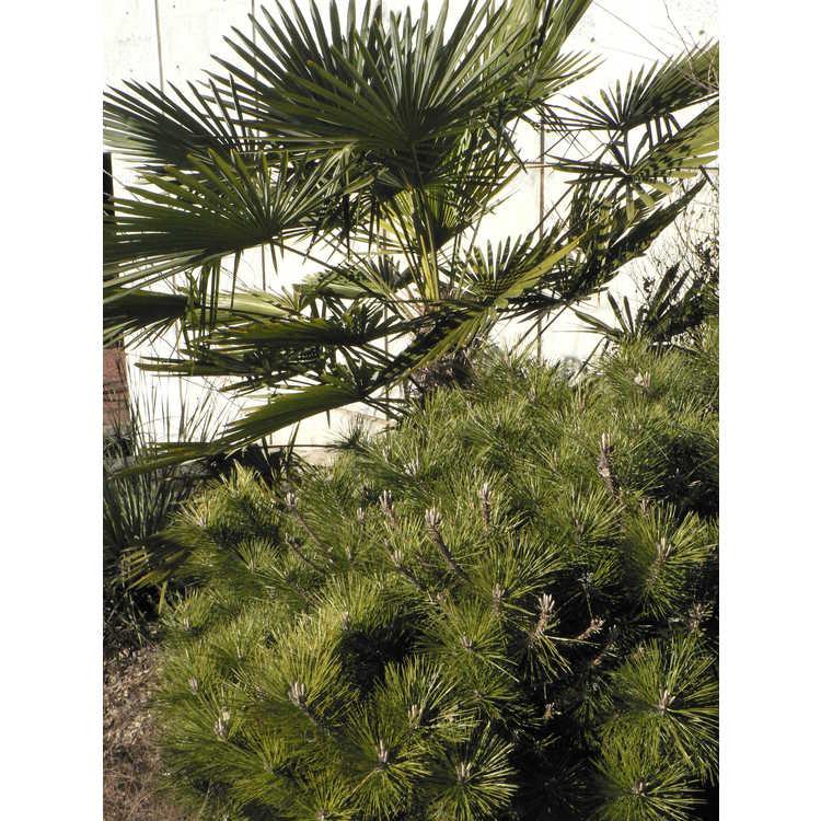 Pinus thunbergii 'Banshosho'