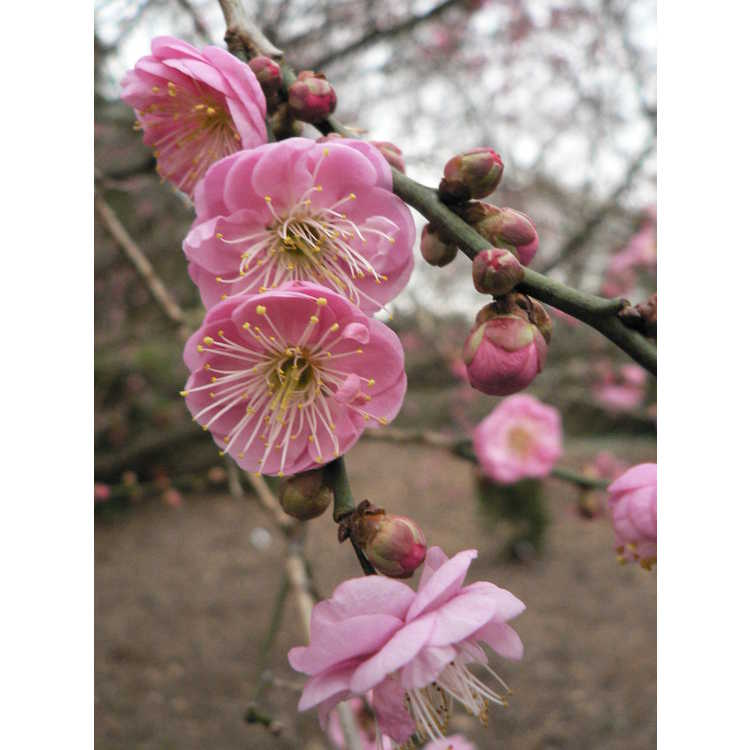 Prunus mume 'Bonita' - pink Japanese flowering apricot