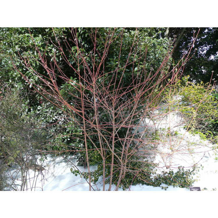 Cornus sanguinea 'Winter Beauty' - bloodtwig dogwood