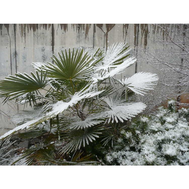 Trachycarpus fortunei (Bulgaria)