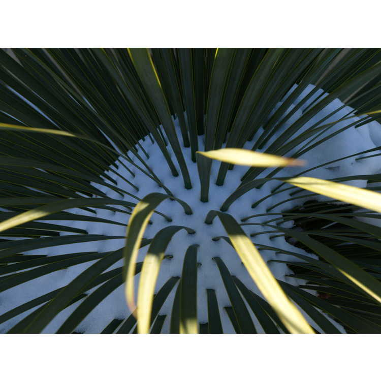 Yucca thompsoniana - Trans Pecos yucca