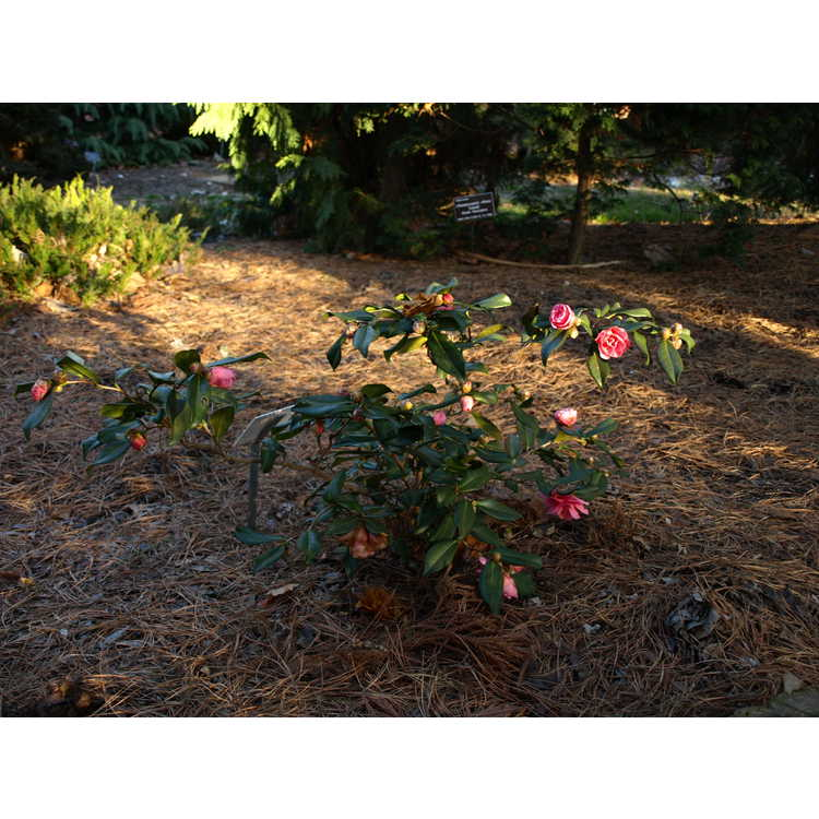 Camellia ×vernalis 'Egao Corkscrew'