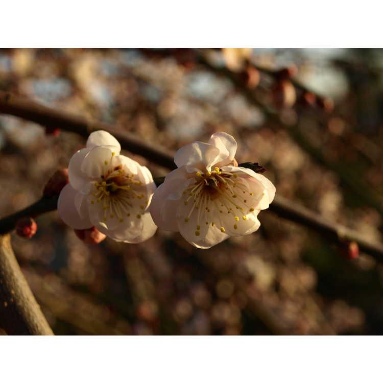 Prunus mume 'Bridal Veil' - weeping Japanese flowering apricot