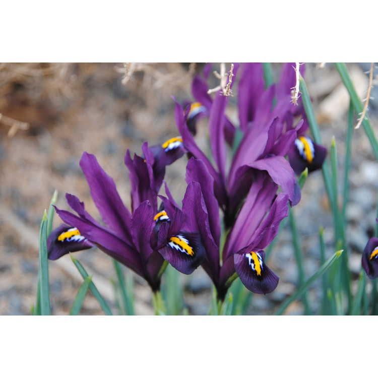 Iris [Reticulata Group] 'J. S. Dijt'