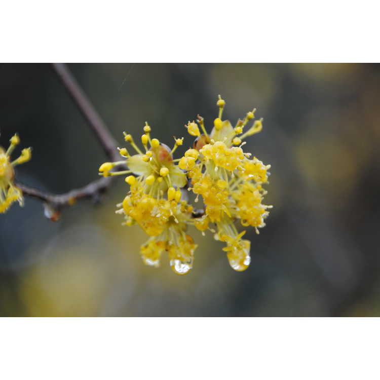 Cornus officinalis - Japanese cornel