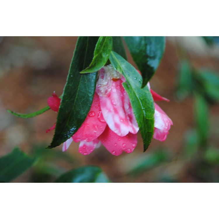 Camellia japonica Kujaku Tsubaki
