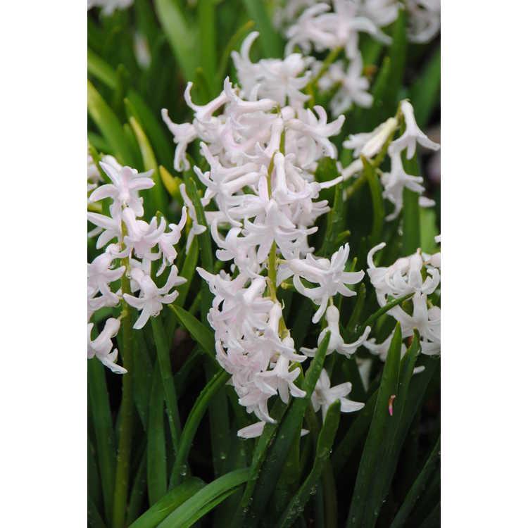 Hyacinthus orientalis 'White Festival' - common hyacinth