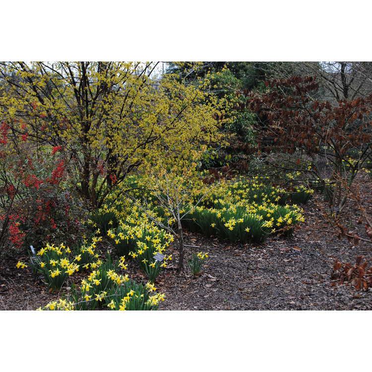 Cornus officinalis 'Spring Glow'